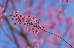 Dia do Valentim Flores cor-de-rosa de florescência bonitas Fotos de Stock Royalty Free