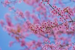 Dia do Valentim Flores cor-de-rosa de florescência bonitas Imagens de Stock