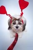 Dia dos Valentim do tzu de Shih Foto de Stock