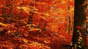 Dia ensolarado bonito na floresta dourada do outono fotografia de stock