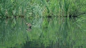 Dia ensolarado bonito no parque de Bruxelas Lagoa verde com patinho e a fonte novos da lagoa O pato limpa penas vídeos de arquivo
