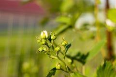 Dia ensolarado da mola, bagas novas e amora-preta das flores Imagens de Stock Royalty Free