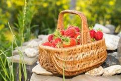 Dia ensolarado da mola, morangos frescas em uma cesta de vime Fotografia de Stock Royalty Free