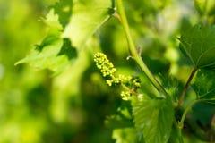 Dia ensolarado da mola, um grupo de uvas novas Foto de Stock Royalty Free