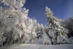 Dia ensolarado em uma floresta do inverno Fotos de Stock