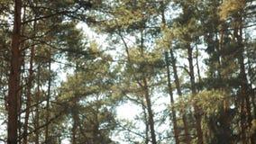 Dia ensolarado em uma floresta do pinho, estrada de floresta, movimento lento ascendente vertical, raios do sol vídeos de arquivo