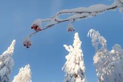 Dia ensolarado na floresta do inverno, montanhas ural, floresta do inverno, natu do russo fotografia de stock
