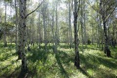Dia ensolarado no bosque do vidoeiro fotografia de stock
