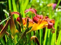 Dia-lírio da flor em botão. Imagem de Stock