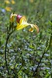 Dia-lírio da laranja da flor Imagem de Stock Royalty Free