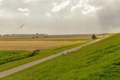 Dia nebuloso em um prado holandês com rebanho dos carneiros, Pieterburen, H Fotografia de Stock