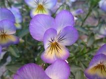 Dia-noite ou lat Viola tricolor fotos de stock royalty free