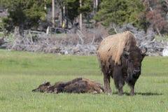 Dia preguiçoso para búfalos Imagem de Stock Royalty Free