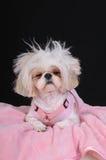 Dia ruim do cabelo do cão de Shih Tzu Fotos de Stock Royalty Free