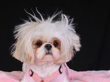 Dia ruim do cabelo do cão de Shih Tzu imagens de stock