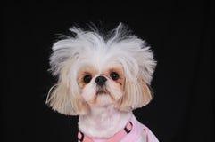Dia ruim do cabelo do cão de Shih Tzu Imagem de Stock