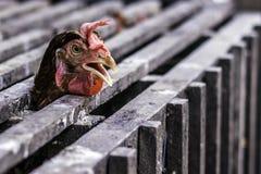 Dia una occhiata ad un fischio del pollo immagine stock libera da diritti