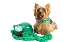 Dia Yorkie do St Patricks Fotos de Stock Royalty Free