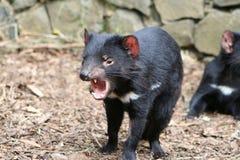diabeł tasmańskie Fotografia Royalty Free