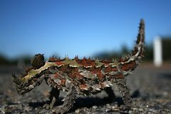 diabelska jaszczurka cierniowata australii zdjęcie stock