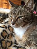 Diabetic Senior Male Tabby Cat. Tabby cat with leopard markings Needs insulin injections twice a day to stay healthy and well Royalty Free Stock Photography