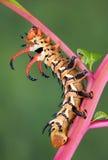 Diable à cornes d'hickory Photographie stock libre de droits