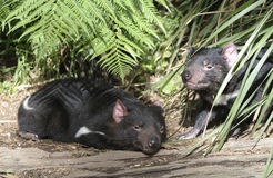 Diable tasmanien Photographie stock