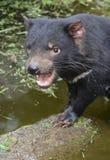 Diable tasmanien dans la piscine de l'eau avec la bouche ouverte Photo stock