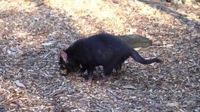 Diable tasmanien mangeant de la nourriture au sol clips vidéos