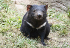 Diable tasmanien mignon regardant l'appareil-photo Images stock