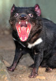 Diable tasmanien mis en danger Images libres de droits