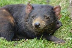 Diable tasmanien se couchant Image libre de droits