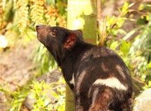 Diable tasmanien sentant l'air Images libres de droits