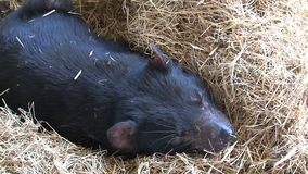 Diable tasmanien somnolent en Tasmanie clips vidéos