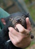 Diable tasmanien tenu par le gardien, protégé, soulagé Photo stock