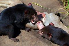 Diables tasmaniens Photos stock