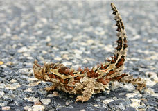 Diablo espinoso del aka del horridus de Moloch foto de archivo libre de regalías