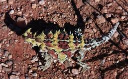 Diablo espinoso, interior, Australia Imagen de archivo libre de regalías