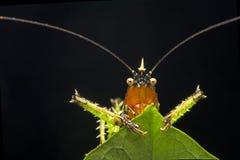 Diablo espinoso Katydid Fotografía de archivo libre de regalías