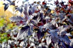 Diablo Ninebark - Physocarpus opulifolius. Diablo Ninebark in the garden Stock Photos