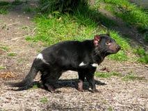 Diablo tasmano Foto de archivo libre de regalías