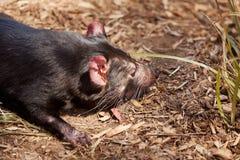 Diablo tasmano imagen de archivo