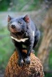 Diablo tasmano Imágenes de archivo libres de regalías