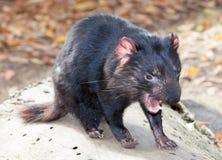 Diablo tasmano Fotos de archivo libres de regalías