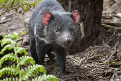Diablo tasmano imagenes de archivo