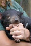 Diablo tasmano detenido por el encargado, protegido, confortado Imágenes de archivo libres de regalías