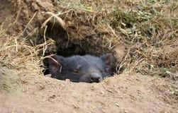 Diablo tasmano lindo que duerme en guarida Imagen de archivo