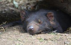Diablo tasmano lindo que duerme en guarida Imágenes de archivo libres de regalías