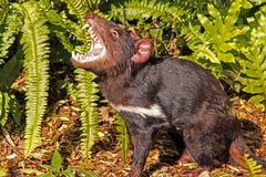 Diablo tasmano que gruñe Imagenes de archivo