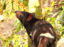 Diablo tasmano que huele el aire Imágenes de archivo libres de regalías